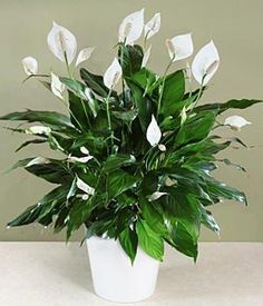 Peace Lilly ♥ Does best out of direct sunlight, so place this in a dark spot in your home! ♥ They are a beautiful addition to your home and they clean the air! ♥♥♥