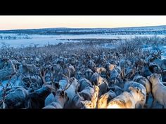 Amazing Arial Drone Footage of Reindeer Migration - Cheezburger.com - Crafted from the finest Internets.