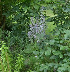 Edible Garden, June, Herbs, Plants, Lawn And Garden, Sage, Vegetable Gardening, Herb, Flora