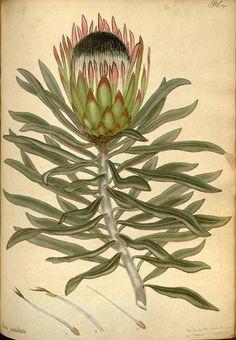 Protea burchellii Stapf (1802-1803) [H.C. Andrews]