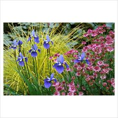 GAP Photos - Garden & Plant Picture Library - Summer border with Iris sibirica 'Placid Waters', Carex elata 'Aurea' and Astrantia 'Roma' - GAP Photos - Specialising in horticultural photography