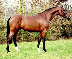 BWP Belgian warmblood stallion Hermes.