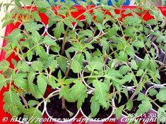 rasaduri de rosii 6 Plants, Plant, Planets