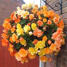 mixed color Begonia Flower Seeds Beautiful Garden Bonsai flower seeds Perennial Malus Spectabilis Seeds for home garden Plants For Hanging Baskets, Baskets On Wall, Fruit Plants, Cool Plants, Potted Plants, Begonia, Flower Planters, Flower Pots, Fall Planters