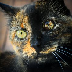 Tortie face. Check out those eyes!