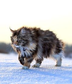 this is not a wild cat, but a beautiful Maine Coon www.mainecoonguid… this is not a wild cat, but a beautiful Maine Coon www. Pretty Cats, Beautiful Cats, Animals Beautiful, Cute Animals, Warrior Cats, Gatos Maine Coon, Maine Coon Cats, Cute Kittens, Cats And Kittens