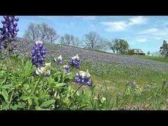 Beautiful field of bluebonnets