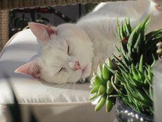 Snuggy bear #whitecat #cats