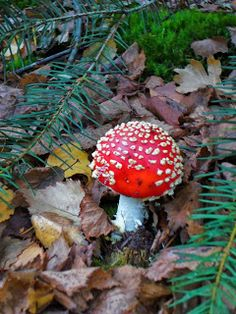 My favorite: in dutch we call this the Fly Mushroom, because of all the little white dots. If I was a Gnome I would definitely use this as my house. Little White, Autumn, Fall, Dutch, Stuffed Mushrooms, Seasons, My Favorite Things, Pretty, House