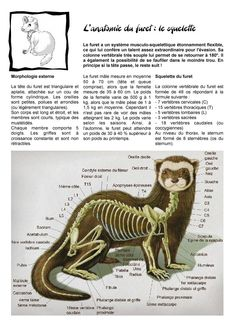 Black footed ferret skeleton structure