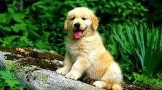 Golden Retriever puppy Animal HD desktop wallpaper, Dog wallpaper, Golden Retriever wallpaper, Puppy wallpaper - Animals no. Baby Puppies, Baby Dogs, Pet Dogs, Dogs And Puppies, Doggies, Cute Puppies Golden Retriever, Retriever Puppy, Golden Retrievers, Golden Puppy