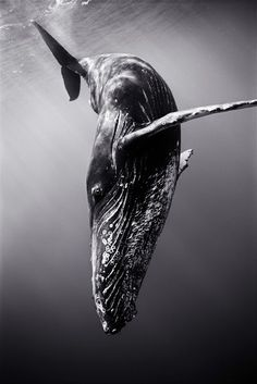 Magnificent Photography: 25 Stunning Shots - Diving Humpback Whale by Wayne Levin