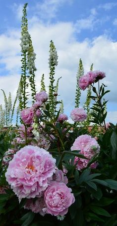 Beautiful Peonies at Attingham Park, spotted by Isobel Evans.