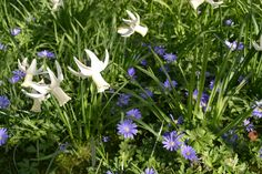 Glorious and Anemones. Anemones, Ox, Daffodils, Beautiful Gardens, Plants, Flora, Plant, Planting