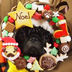 Merry Christmas from this pug