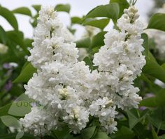 Buy common lilac Syringa vulgaris 'Madame Lemoine' - Famous lilac with wonderfully fragrant blooms: Delivery by Waitrose Garden in association with Crocus Shade Shrubs, Trees And Shrubs, Trees To Plant, Most Beautiful Gardens, Beautiful Flowers, White Lilac Tree, Syringa Vulgaris, Lilac Flowers, Gardens