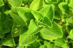 கற்பூரவள்ளிக்கு இவ்வளவு மருத்துவ குணங்களா? | Spottamil Entertainment Types Of Plants, House Plants, Herbalism, Plant Leaves, Herbs, Ayurveda, Nutrition, Entertainment, Symbols