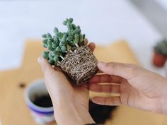 How to Repot Cacti and Succulents - See more at: http://worldofsucculents.com/how-to-repot-cacti-and-succulents