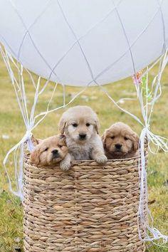 Cute Baby Golden retriever puppy in a hot air balloon | Cute puppy and dog