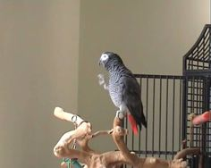 This Parrot Has Probably Better Ear For Music Than You Do