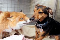 """Roxy the fox was found dangling off a bridge with a rope around her neck, but since she was rescued, she's been enjoying a """"dog's life"""". She chews on bones, chases balls, and loves going for walks with dogs at the wildlife sanctuary she calls home."""