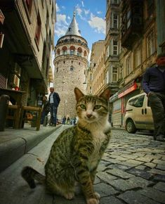 Thousands of cats run the city of Istanbul. Read the story and see the pictures. I Love Cats, Crazy Cats, Cool Cats, Pretty Cats, Beautiful Cats, Cat Photography, Mundo Animal, Cute Funny Animals, Cat Life
