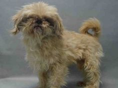 SUPER URGENT Brooklyn Center LEO – A0978754  **RETURNED 12/20/16**  NEUTERED MALE, CREAM, SHIH TZU MIX, 8 yrs STRAY – STRAY WAIT, HOLD FOR ID Reason STRAY Intake condition EXAM REQ Intake Date 12/20/2016