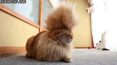 This Cat Has the Best Haircut a Cat Could Have