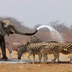 """The elephant """"car wash"""" is positively awesome! Actually this is a photograph of an elephant spraying zebras with water to keep them away from the waterhole. Amazing shot of a South Africa or Cape Town Safari Animals And Pets, Funny Animals, Cute Animals, Wild Animals, Nature Animals, Garden Animals, Wildlife Nature, African Elephant, African Animals"""