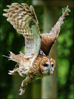 Tawny-owl-in-flight.jpg (334×450)
