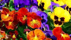 Flores clássicas do inverno: corra que é a hora de plantar - Amor-perfeito (Viola tricolor)  A virada do tempo na maior parte do Brasil, levando embora finalmente aquele calorão infernal, é a senha para uma decisão estratégica dos jardineiros de plantão. Em estados como São Paulo, a chegada de fato do outono é a única chance no ano inteiro para vocêtr... - http://pastilhadevidro.com.br/ecoblog/2016/04/27/flores-classicas-do-inverno-corra-que-e-a-hora-de-plantar