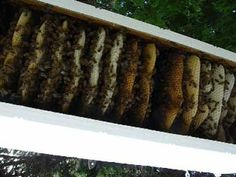 Top bar hive full of bees and comb! Top Bar Bee Hive, Raising Bees, Bee Photo, Birds And The Bees, Garden Animals, Bee Friendly, Beneficial Insects, Bee Happy, Farm Gardens