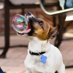 Jack russell terrier; Google is one and he loves bubbles too