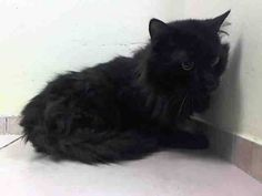 (22 Cats)TO BE DESTROYED 6/9/14 **  Kandoo previously lived with 4 adults for a few years; has lived with other cats and it was stated that they got along well. Loves to play/enjoys petting was said about his personality ** Brooklyn Center  My name is KANDOO. My Animal ID # is A1001989. I am a male black domestic lh. The shelter thinks I am about 10 YEARS old.  I came in the shelter as a OWNER SUR on 06/03/2014 from NY 11413, HOARDING. I came in with Group/Litter #K14-175922.