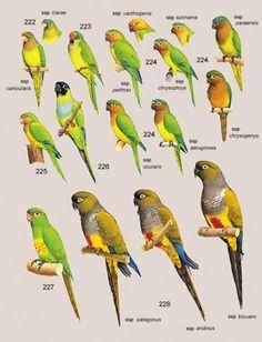 222. Orange-fronted Parakeet (Aratinga canicularis) 223. Peach-fronted Parakeet (Aratinga aurea) 224. Brown-throated Parakeet (Aratinga pertinax) 225. Cactus Parakeet (Aratinga cactorum) 226. Nanday Parakeet (Nandayus nenday) 227. Golden-plumed Parakeet (Leptosittaca branickii) 228. Burrowing Parakeet (Cyanoliseus patagonus)