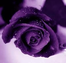 Beautiful purple rose...I love this!