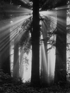 Sunshine in Redwood Forest. Print from Art.com, $29.99. #diningroom