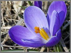 Purple Crocus Bloom by Mogrianne on DeviantArt
