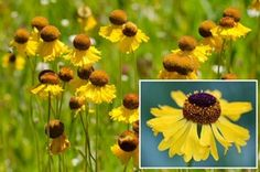 BIGELOW'S SNEEZEWEED 'Tip Top' - Helenium bigelovii is a tough perennial wildflower that is ideal for carefree flower gardens. This tall, easy to grow cultivar blooms in the first year from seed and is a butterfly magnet.