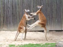 Red kangaroos boxing