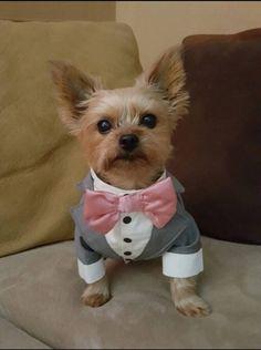 Popular Terrier Bow Adorable Dog - f44f4207eac6b179df5f079842c02a71--custom-tuxedo-dog-tuxedo  HD_842341  .jpg