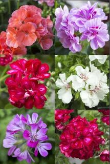 The Pelargonium  A Plant With Many Faces. Part 2.