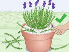 How to Plant Lavender in Pots. Lavender plants are beautiful and fragrant plants that thrive in warm dry climates. Not all climates are great for them, so sometimes they need a little extra care to grow well and produce the blossoms you. Planting Lavender Outdoors, Indoor Lavender Plant, Lavender Planters, Lavender Plant Care, Potted Lavender, Lavender Flowers, Planting Flowers, Growing Lavender Indoors, Lavander