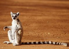 Ring-tailed Lemur:   Roine Magnusson/Getty Images