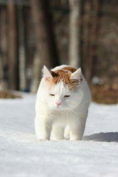Shironeko in the snow