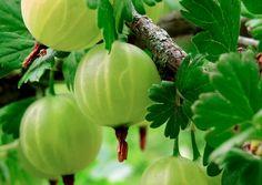 Karviaisen istutus ja hoito onnistuvat, kun kasvupaikka on oikea Dream Garden, Eggplant, Berries, Yard, Stuffed Peppers, Fruit, Vegetables, Gardening, Zero Waste