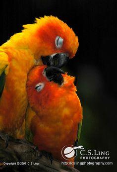 ~~Sun Conure ~ Parrot native to northeastern South America by *giselleukardi~~ All Birds, Cute Birds, Pretty Birds, Beautiful Birds, Animals Beautiful, Exotic Birds, Colorful Birds, Animals And Pets, Cute Animals