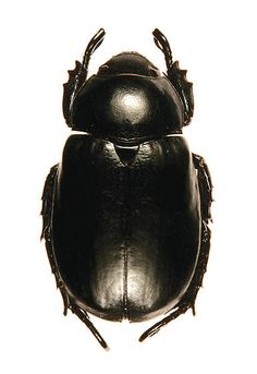 Arizona unknown scarab - Pelidnota lugubris