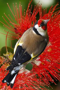http://cdn.c.photoshelter.com/img-get2/I0000Y1IZ2uf8Ty0/fit=1000x750/Goldfinch-Christmas-greeting-card-10-24-307-JD.jpg