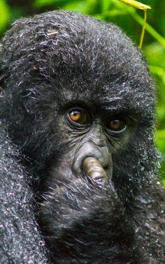 Un gorila de montaña pillado en un gesto comprometido (Cedric Favero, 2016)